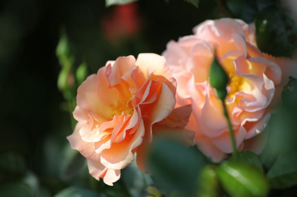 Roses martin des senteurs © Véronique Mure