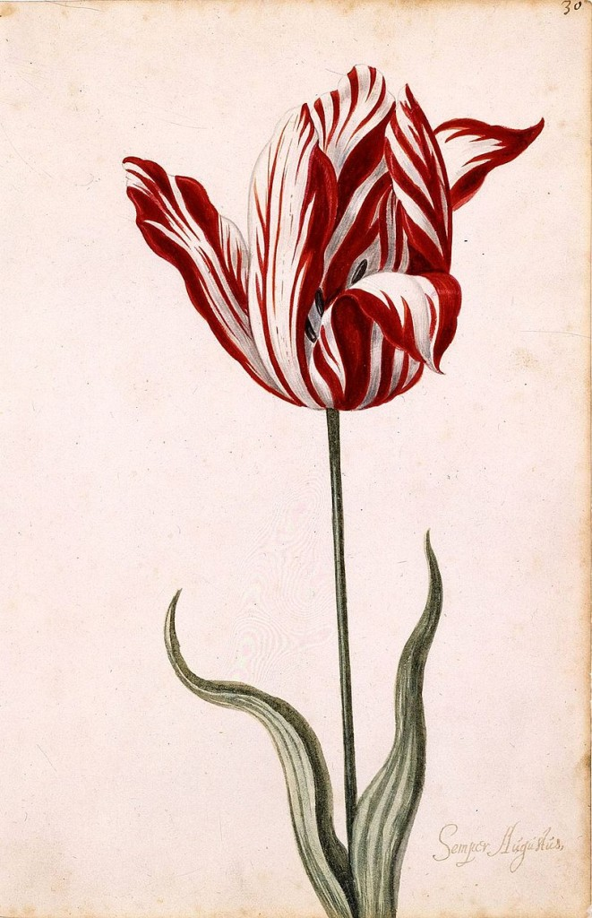 Semper_Augustus_Tulip_17th_century