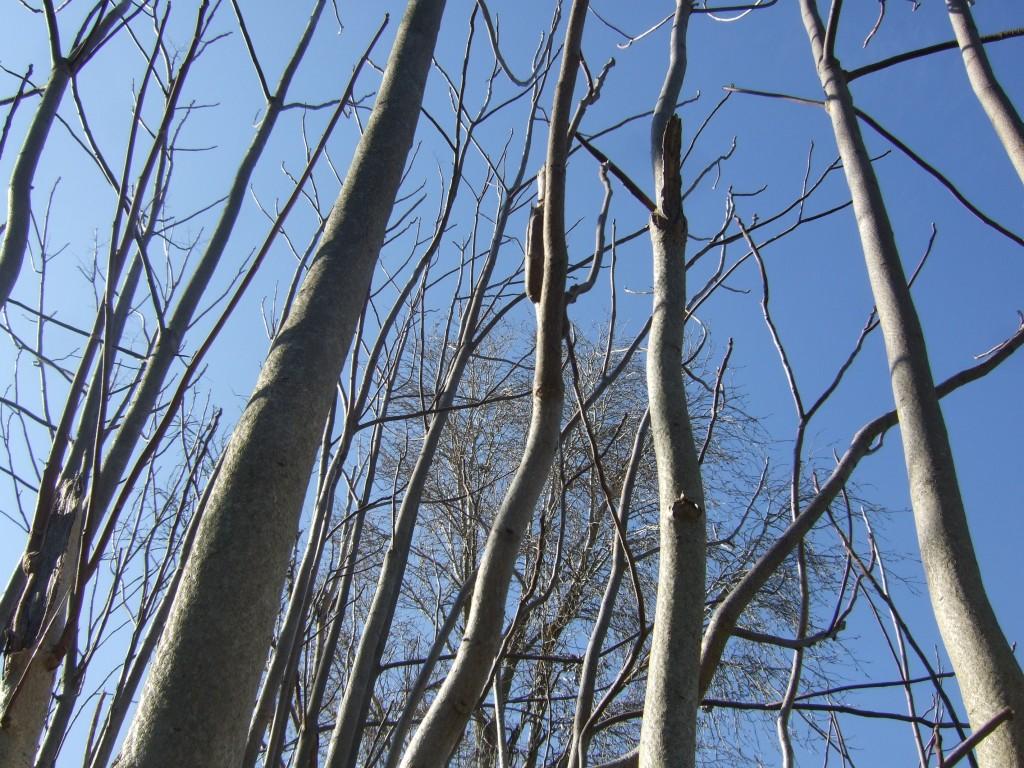 Ailanthus altissima © Véronique Mure