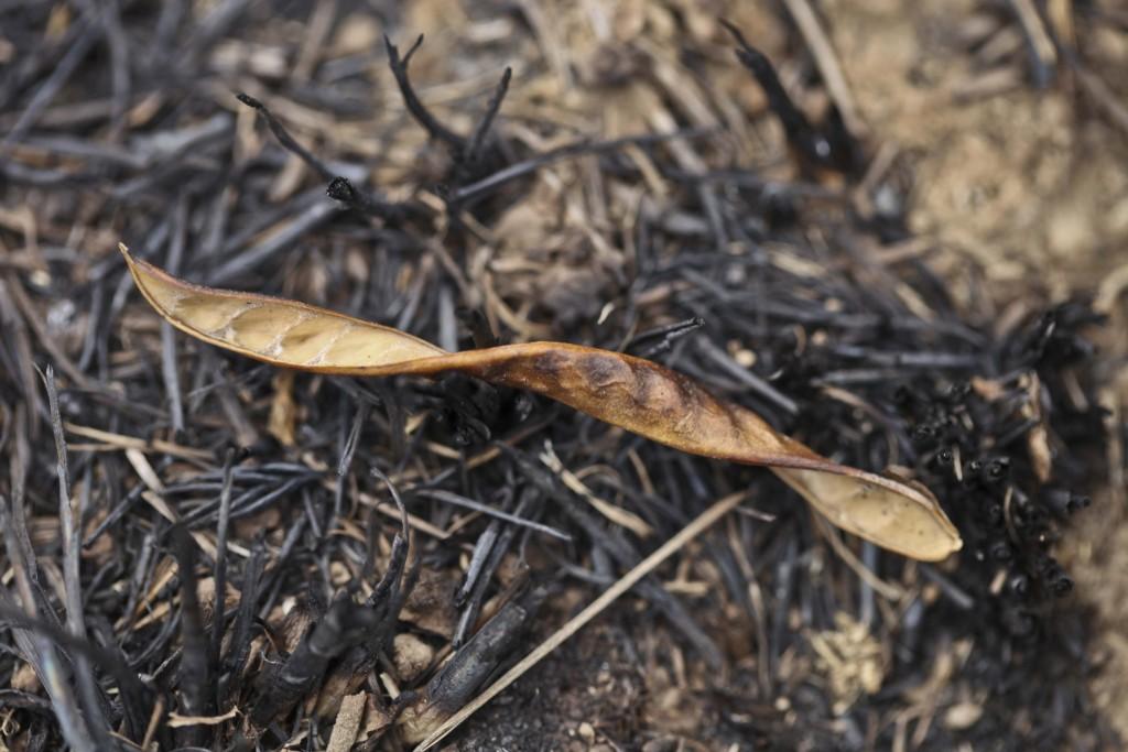 Gousse de genêt d'Espagne (Fabaceae)