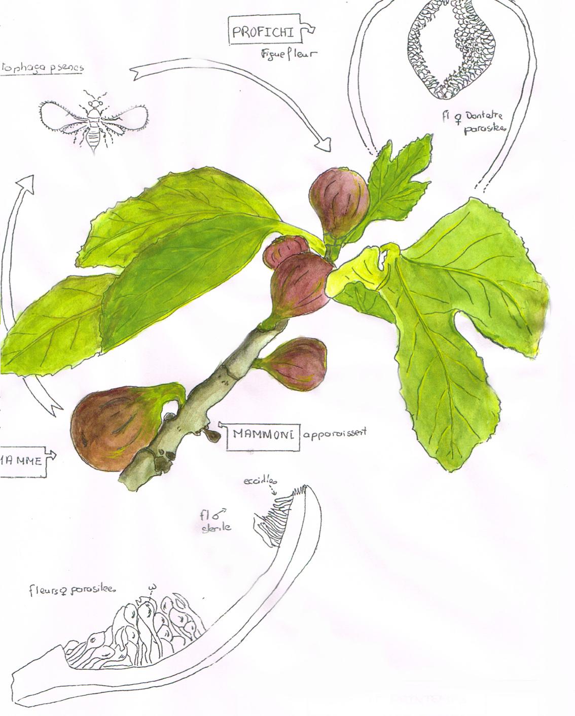 R visons la pollinisation du figuier botanique jardins - Dessin figuier ...