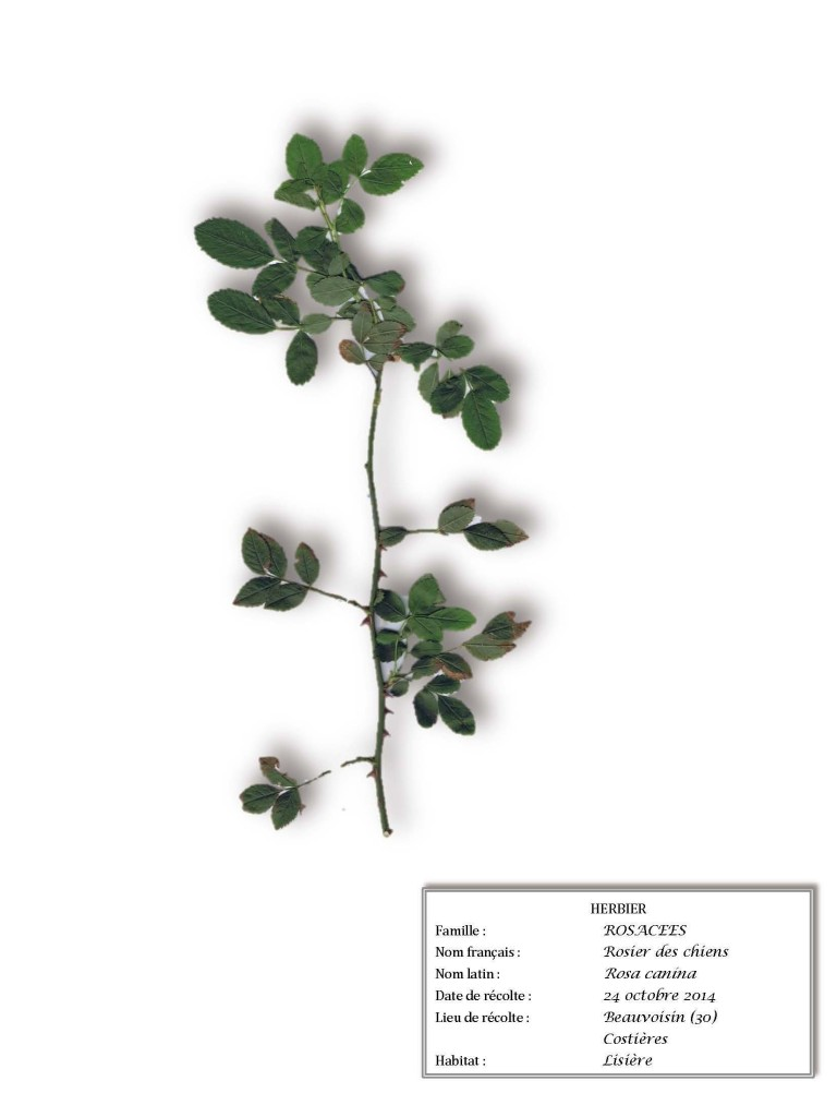 #herbier olivette #veroniquemure