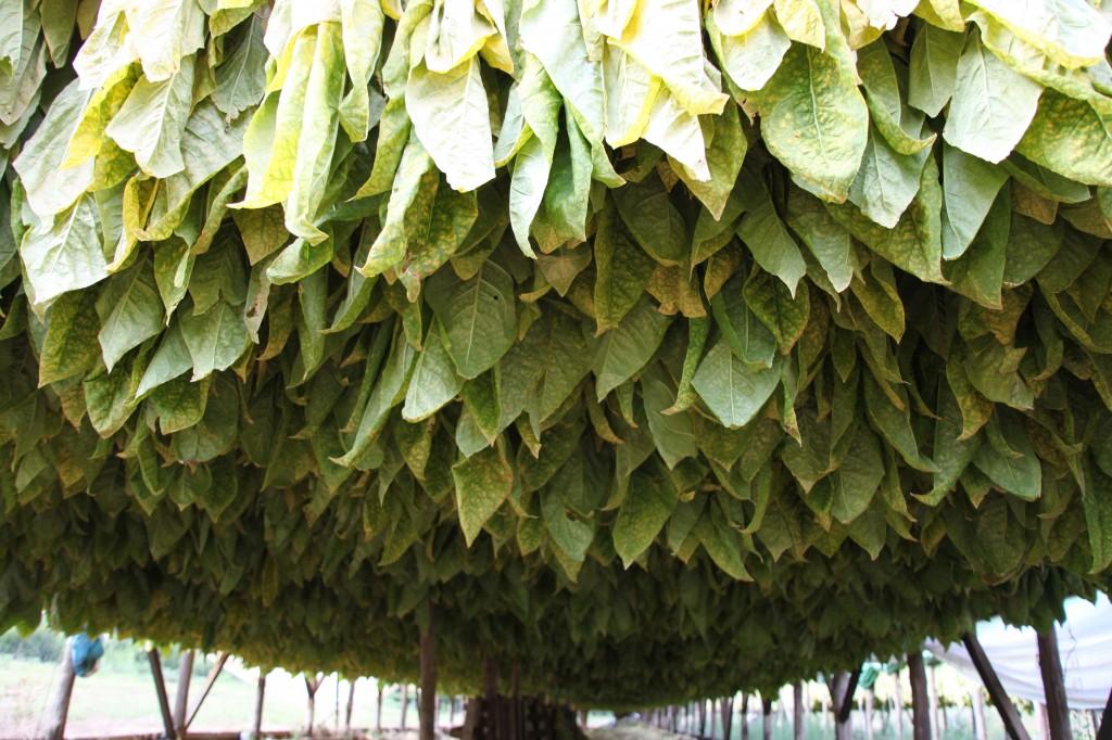 la saison du tabac bat son plein en p rigord botanique jardins paysages. Black Bedroom Furniture Sets. Home Design Ideas