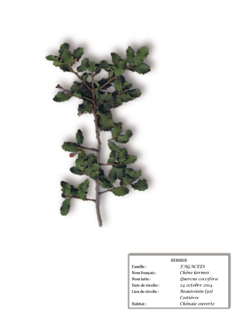 Pages de herbier olivette2_Page_44