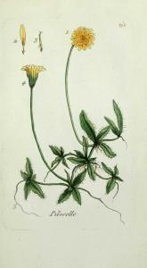 """Dessi""""Flora parisiensis, ou description et figures des plantes qui croissent aux environs de Paris"""" M. Bulliard - Paris 1777"""