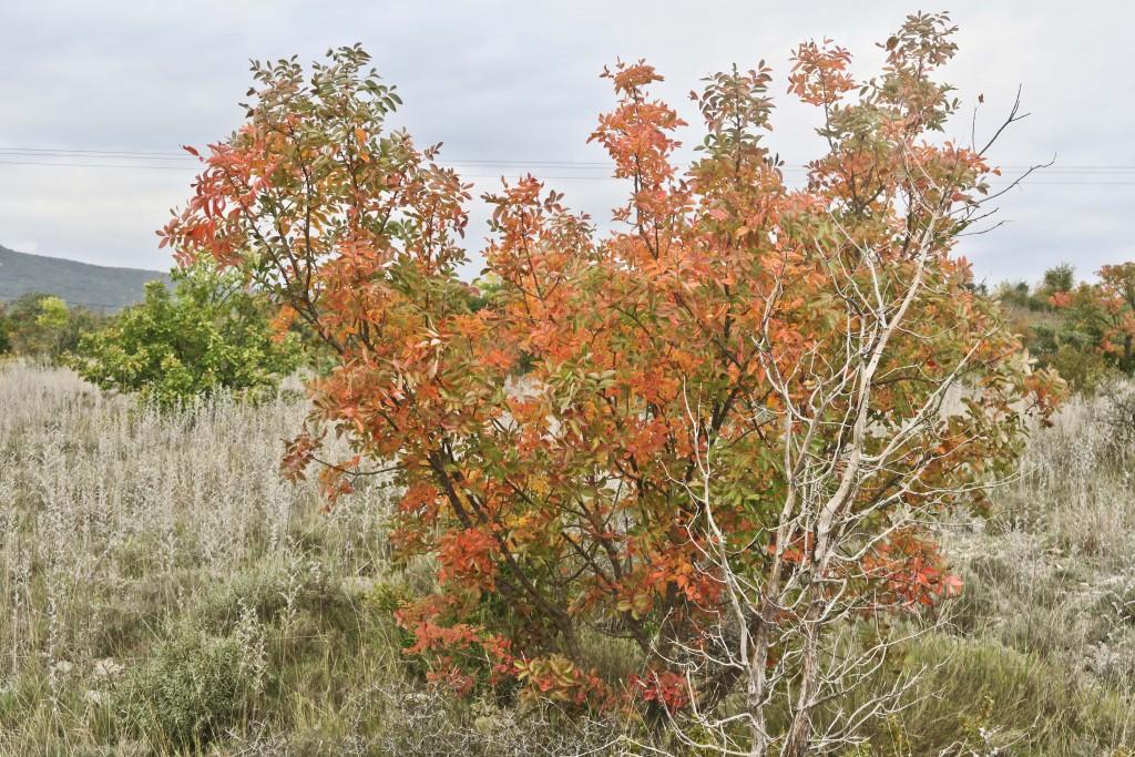 Pistachier thérébinthe (Pistacia terebinthus)