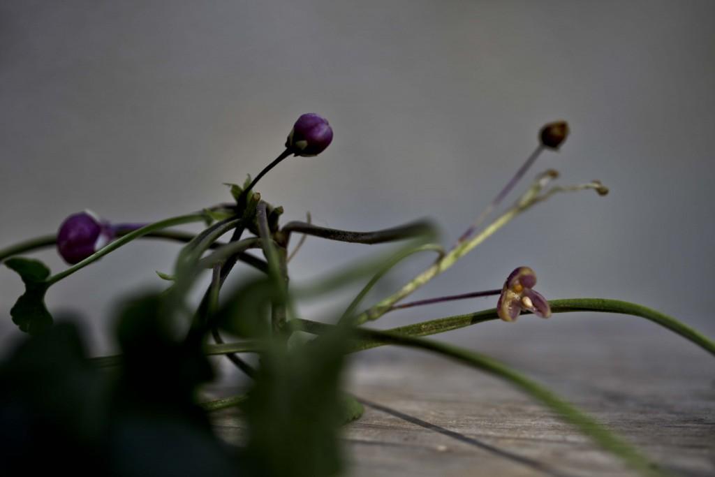 fleurs et fruit de Violette (Viola odorata)