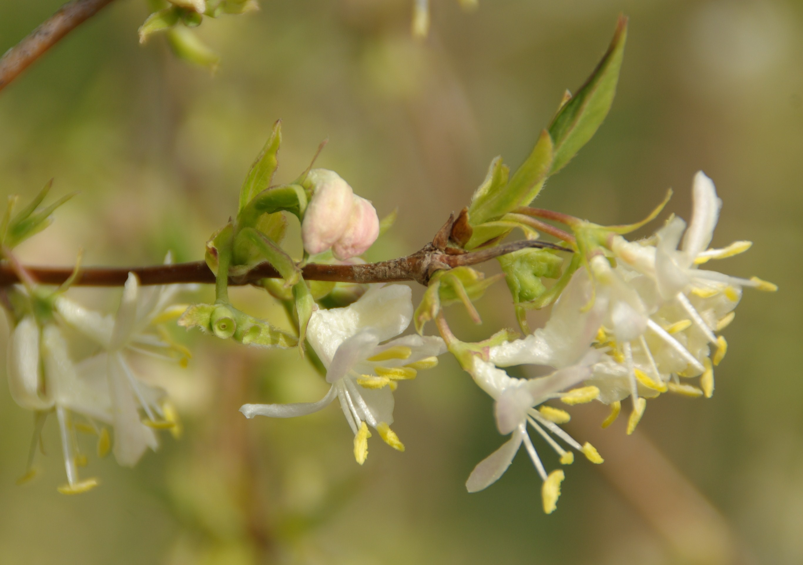 Lonicera frangantissima est en fleur dans les jardins de la Bigotie.
