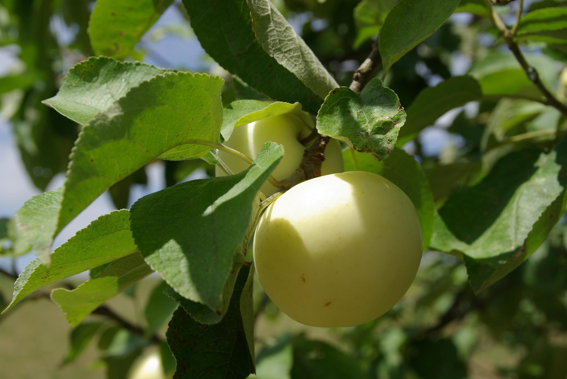 Les pommes de la Saint Jean à maturité