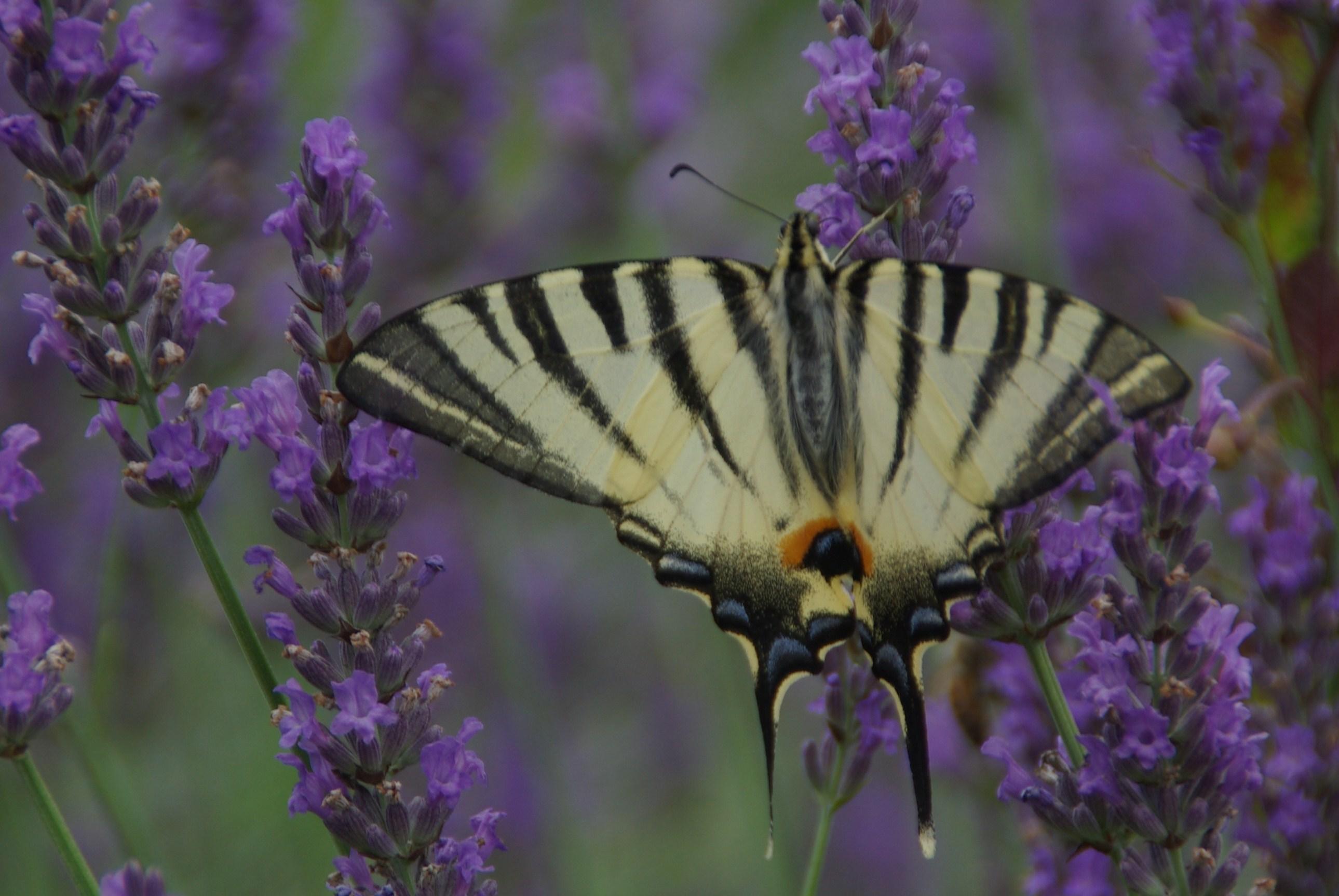 2009 une migration exceptionnelle de papillons