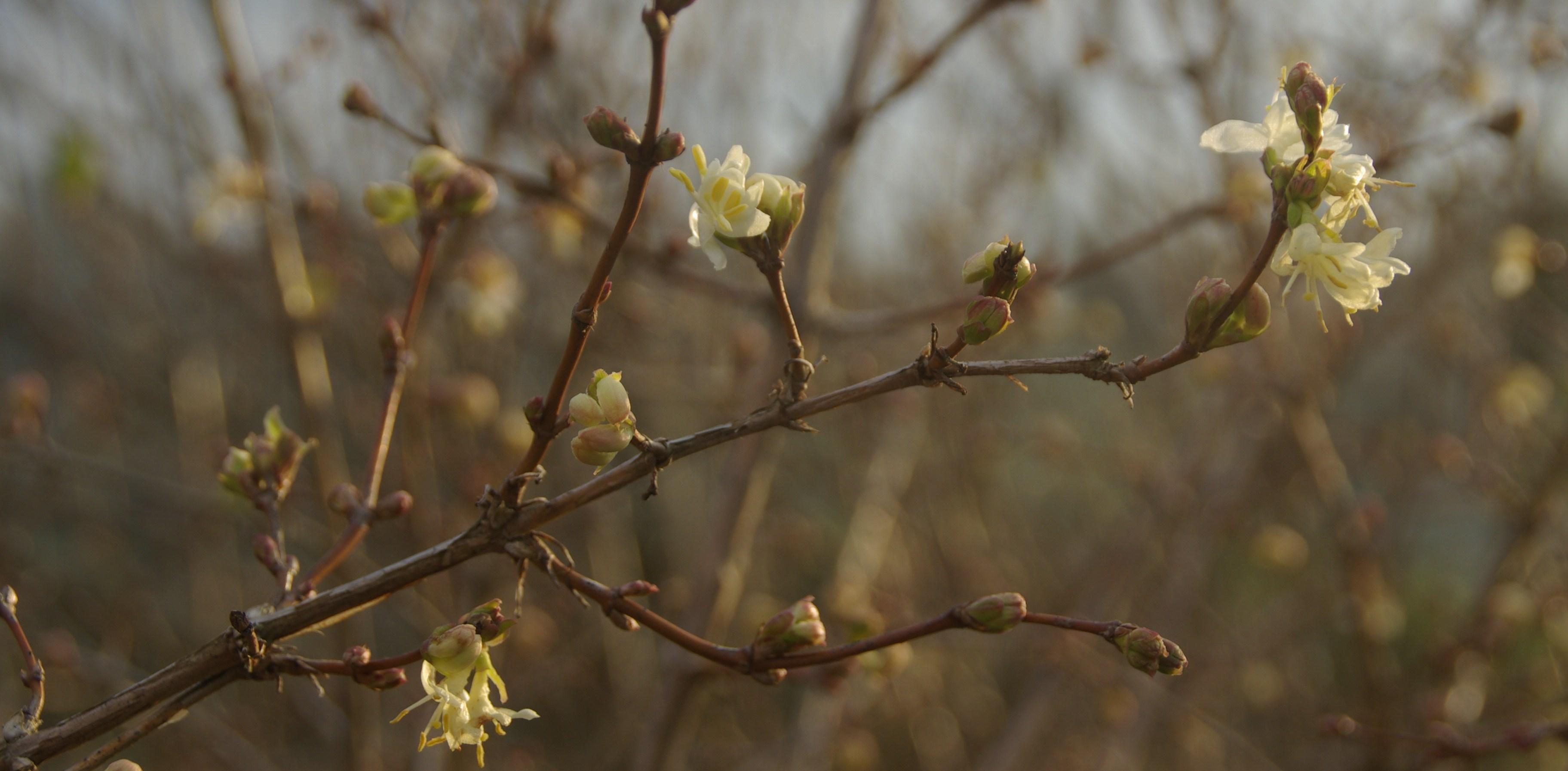 Lonicera fragantissima m'amène tout naturellement à parler du parfum des fleurs…