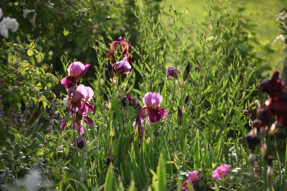 C'est la pleine saison des iris dans les jardins de la Bigotie