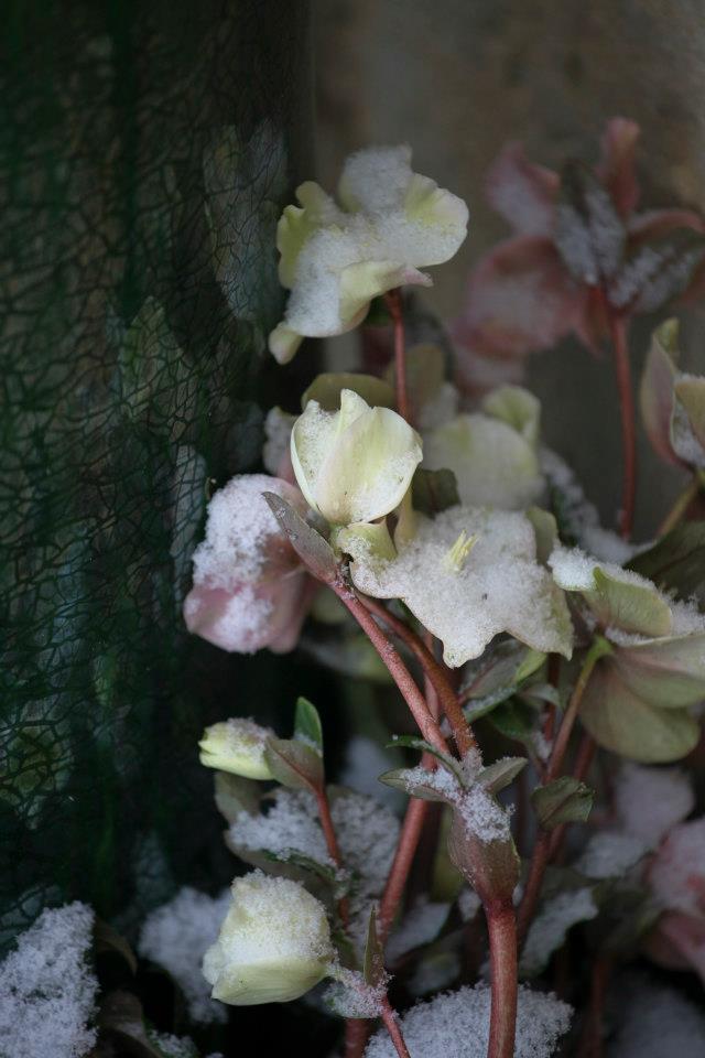 L'hellébore, une fleur au coeur de l'hiver.