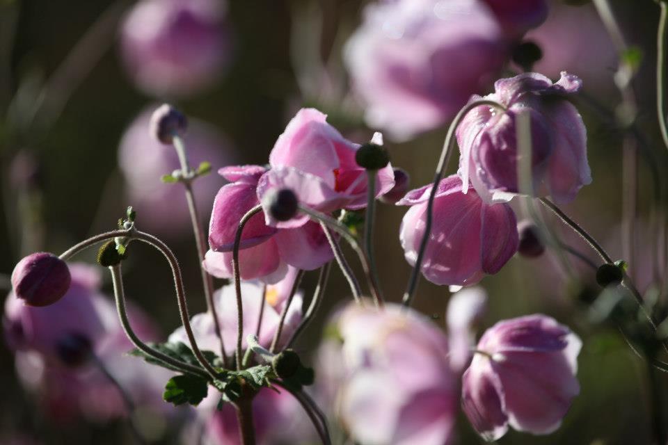Les jardins de la bigotie voient la vie en rose en ce mois de septembre