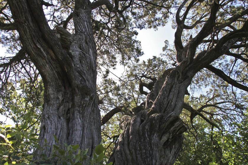 A l'ombre du cade millénaire de Castelnau-Valence