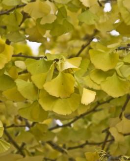 L'arbre aux quarante écus, des jardins des rois à Hiroshima.