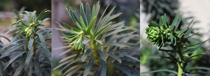 Deux ou trois petites choses sur les euphorbes de nos jardins.