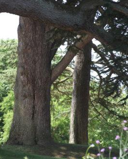 Le genre Cedrus, un petit genre pour de grands arbres.