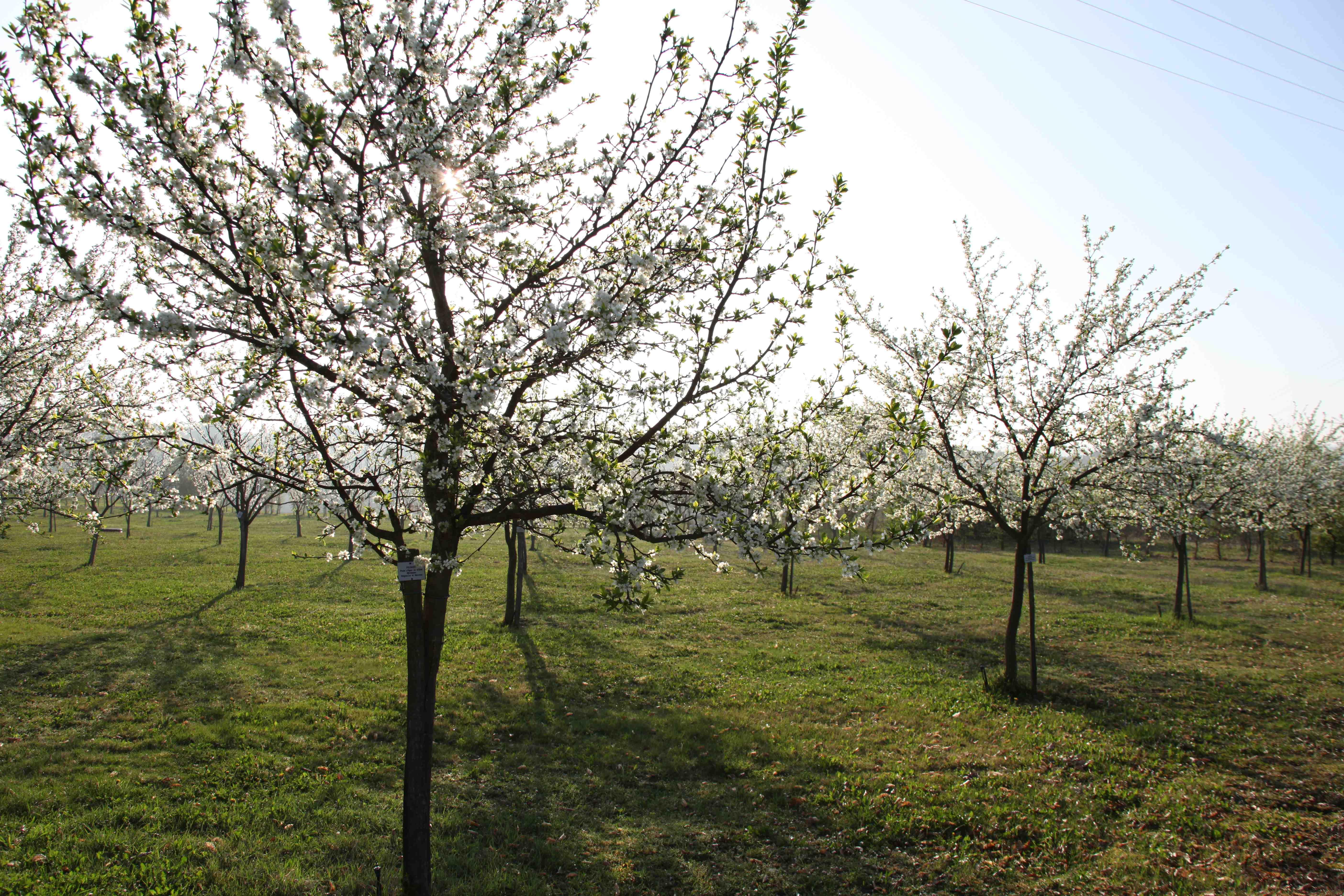 Les pruniers sont en fleurs… le printemps est là…