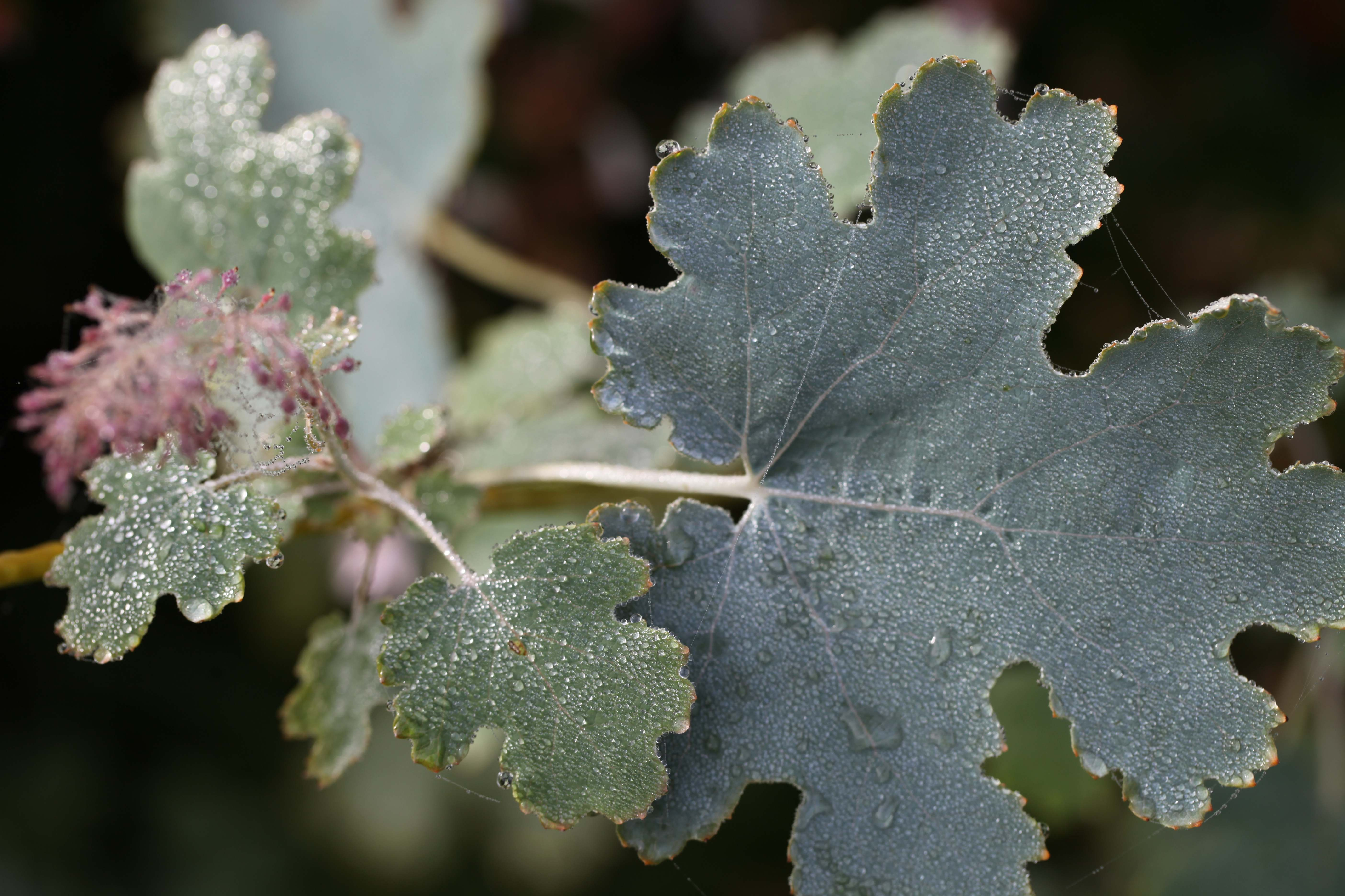 Macleaya cordata, ou Bocconie cordée, anime l'été dans les jardins de la Bigotie.