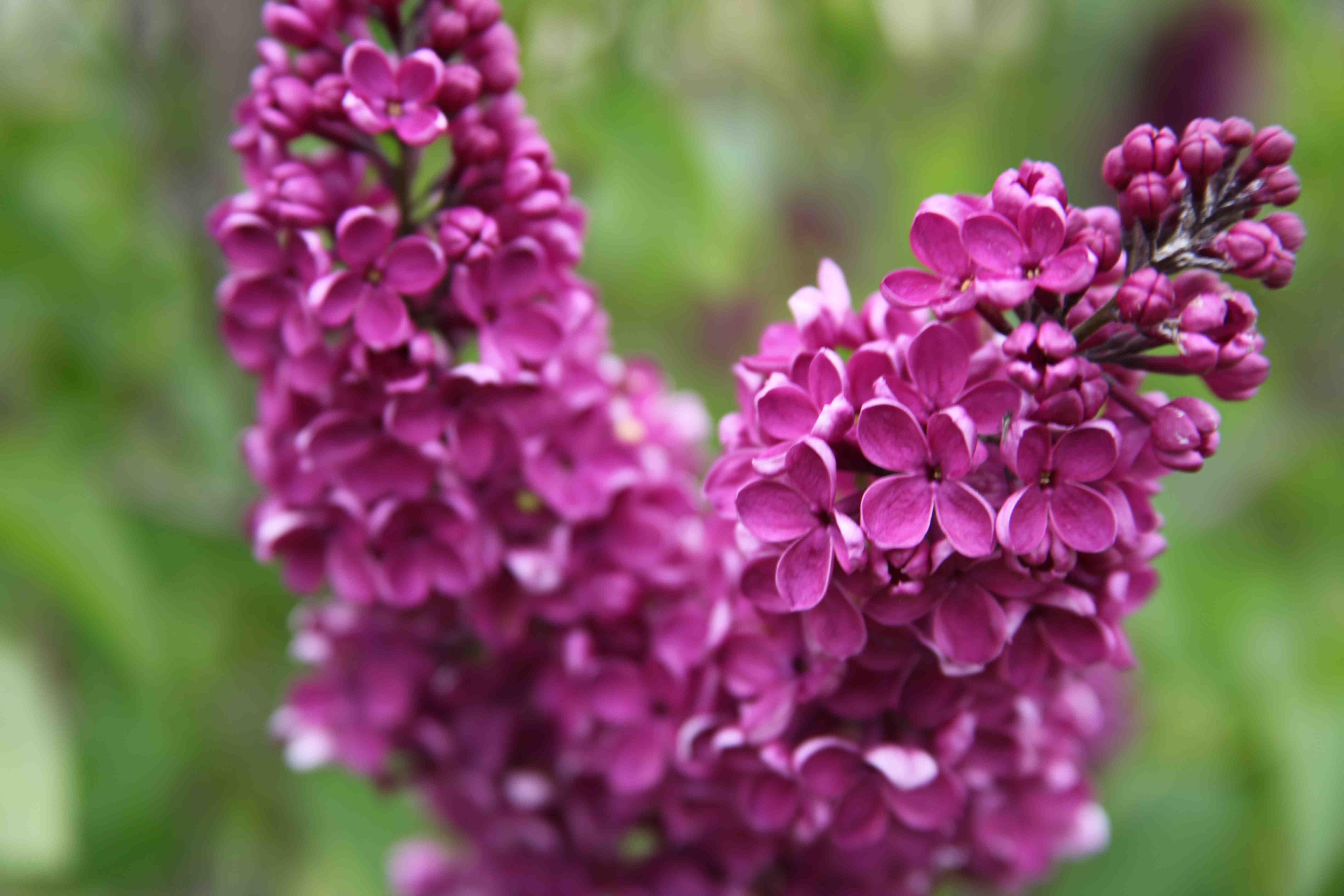 Avril, le temps des lilas…