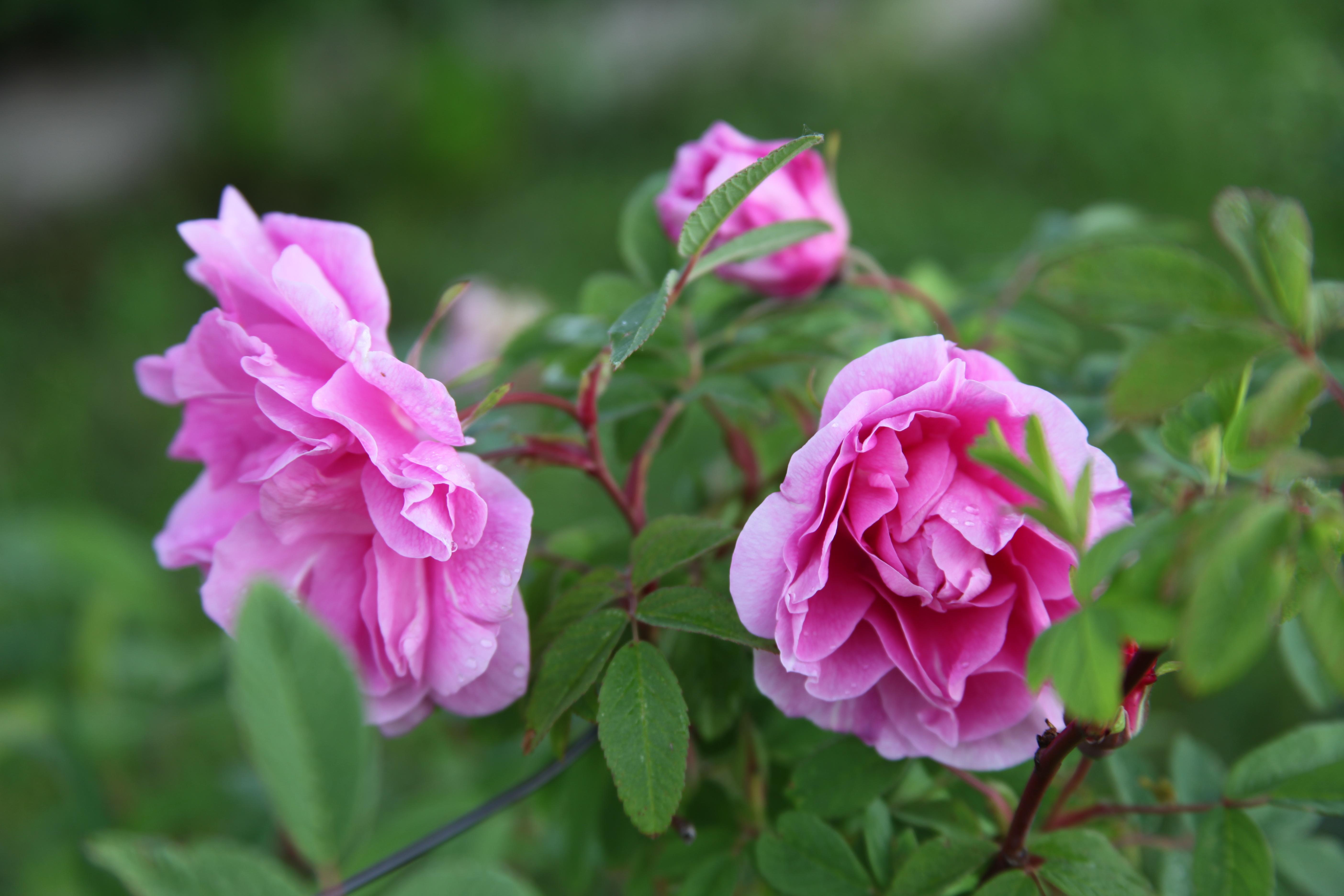 Une grande saison commence pour les rosiers dans les jardins de la Bigotie