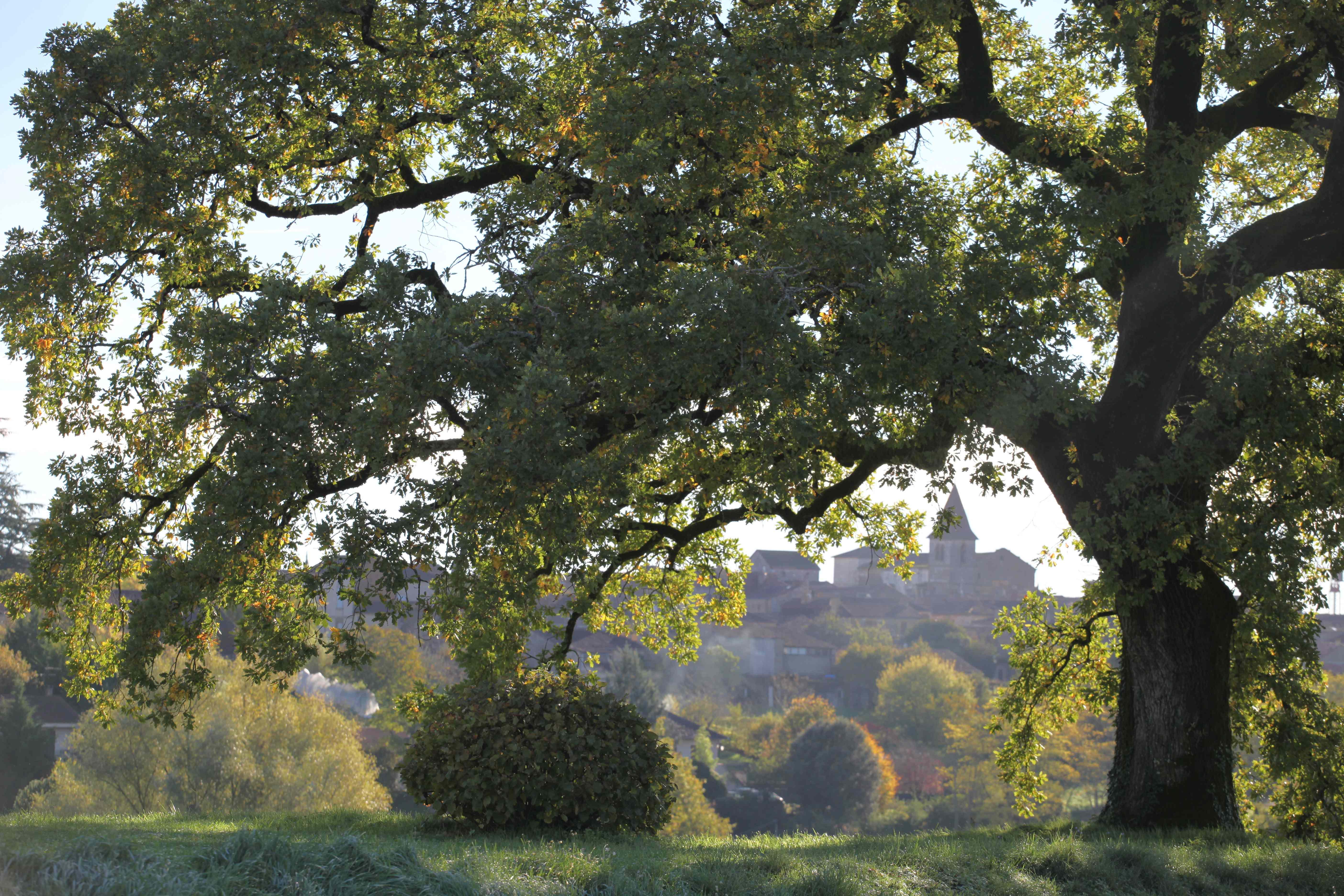 Un automne si doux pour le grand chêne de la Bigotie