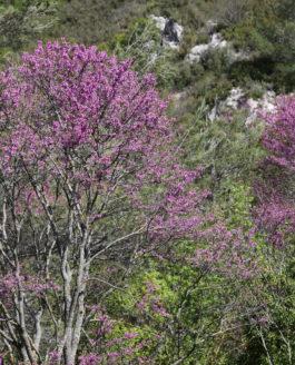 Courrez voir les Arbres de Judée … Ils sont en fleur et c'est d'une grande beauté !