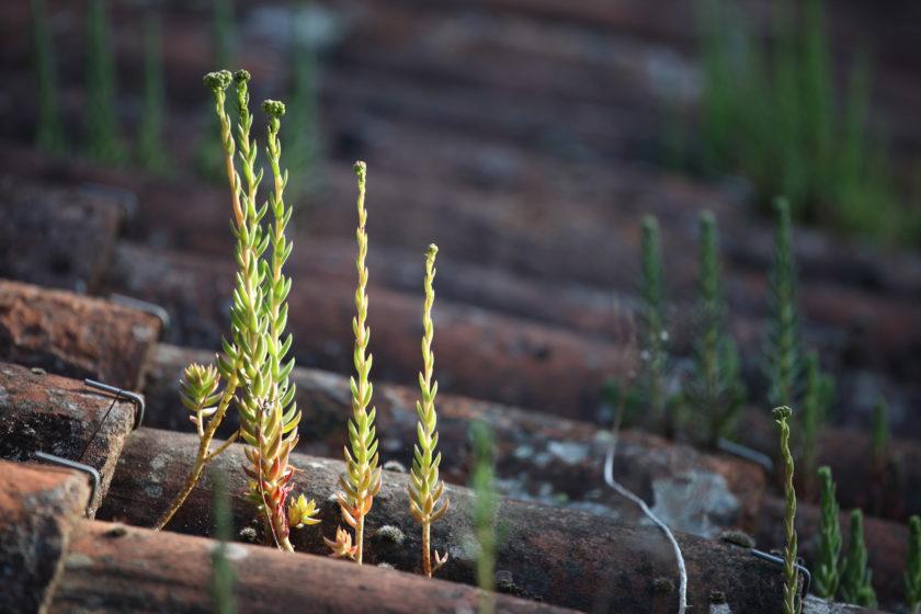 Indispensables sédums… du jardin médicinal au jardin d'ornement.