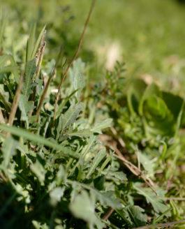 «La salade» Pierre Ronsard