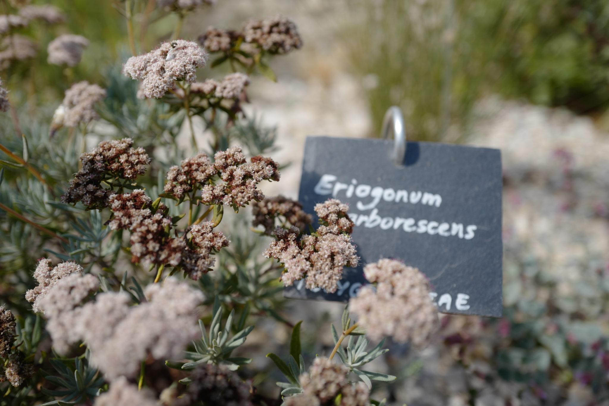 Eriogonum arborescens @vmure Sentier botanique Abbaye St André