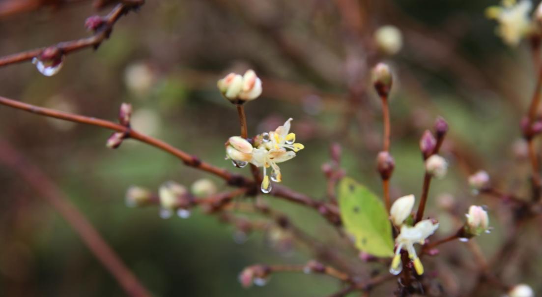 Les premières fleurs de l'année : Lonicera frangantissima