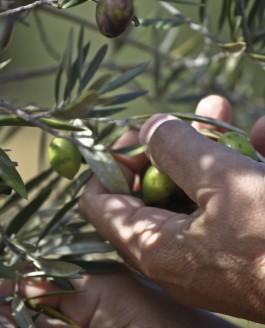 L'olivier, la mouche et l'inule.