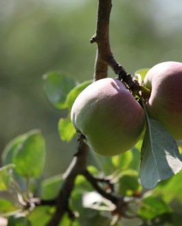 Si le jour de la Sainte Claire, la journée est chaude et claire, comptez sur les fruits à couteau, à coup sûr ils seront beaux…